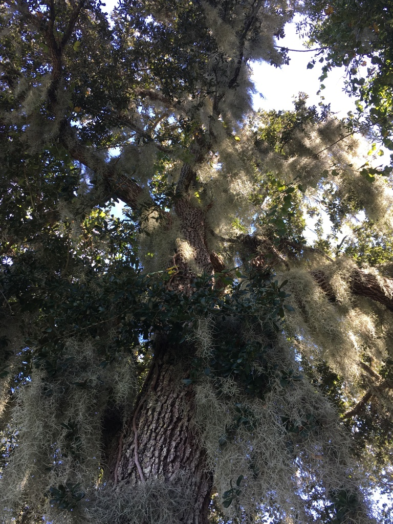 Florida Live oak with Spanish moss