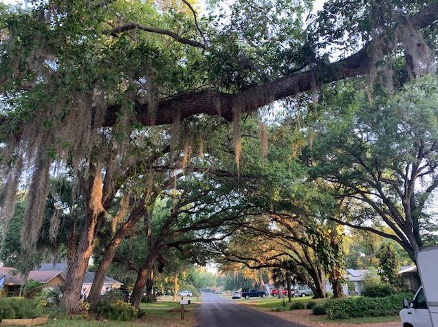 Florida oak trees