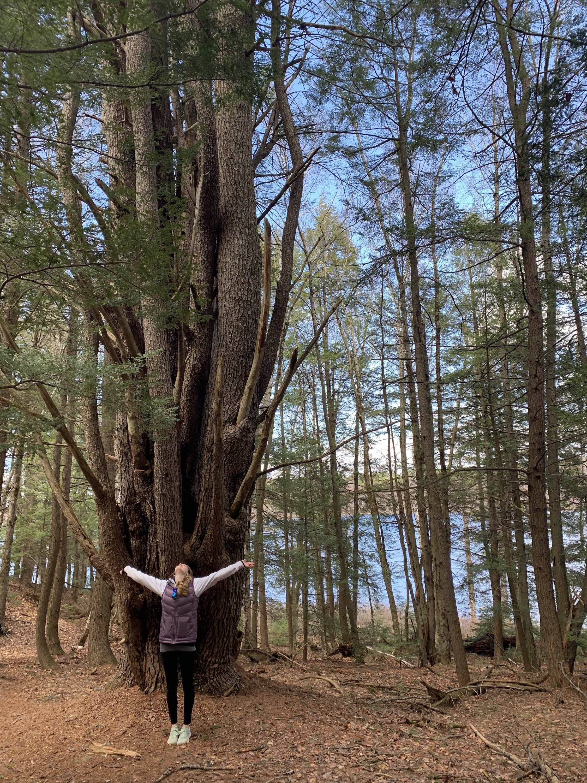 Pine tree along trail by McDowell Dam