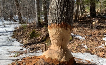 Beaver tree chewed at base