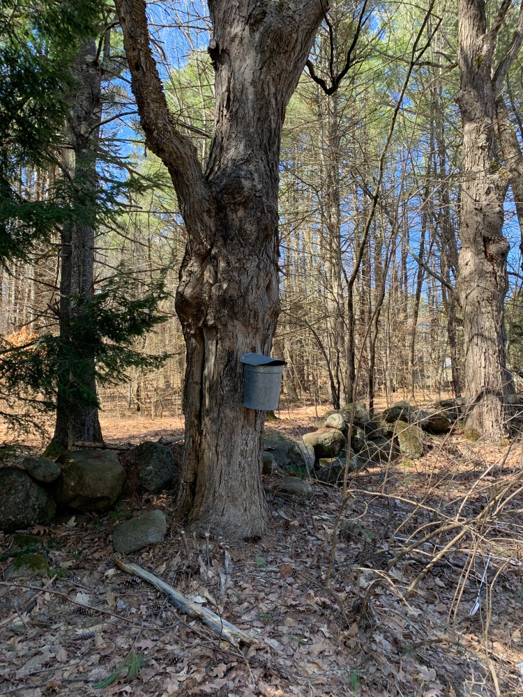 Tin bucket on maple tree collecting sap