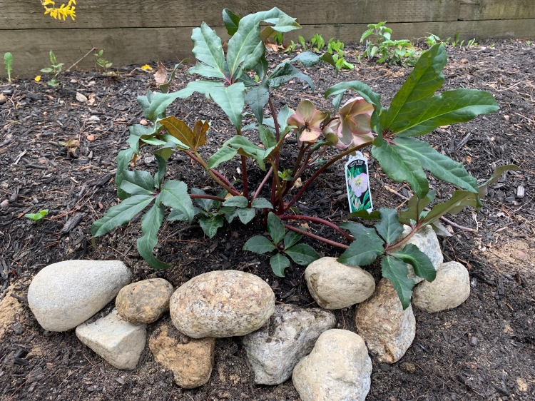 Lentin rose planted in Spring in New Hampshire