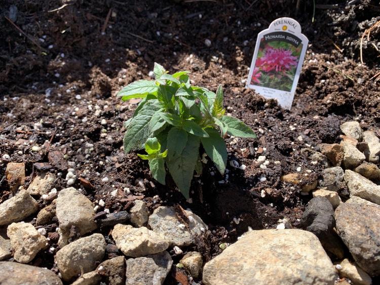 Monarda planted in Spring garden new hampshire