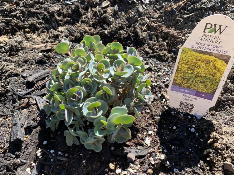 Sedum perennial ground cover planted in spring