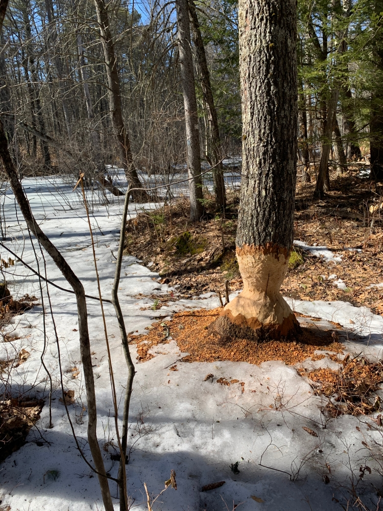 Beaver-chewed tree along a trail in Spring